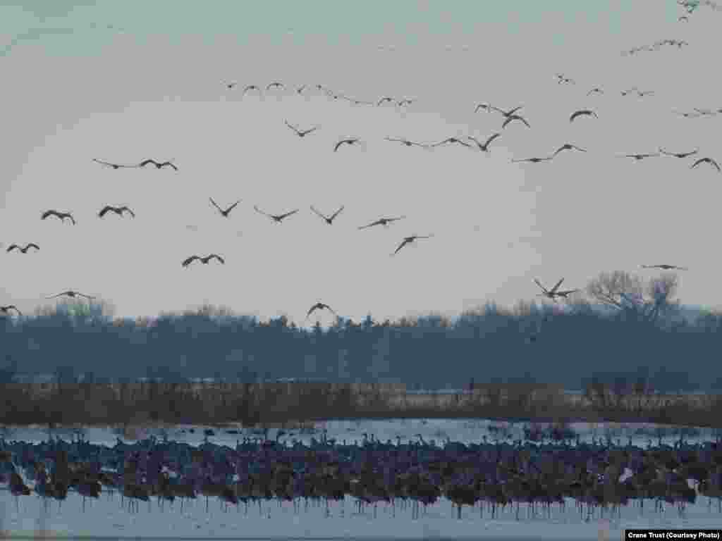 FILE -- The evening rush hour on the Platte River includes thousands of sandhill cranes drifting down from the sky at dusk to find a place among the masses standing in shallow water on the river, Feb. 22, 2019.