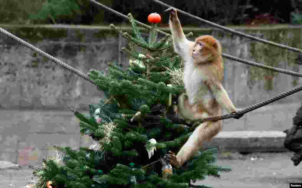A Barbary macaques plays with a leftover Christmas tree in the Tierpark Zoo in Berlin, Germany.