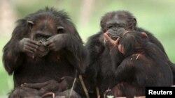 Un groupe de chimpanzés au Metro Zoo de Miami.
