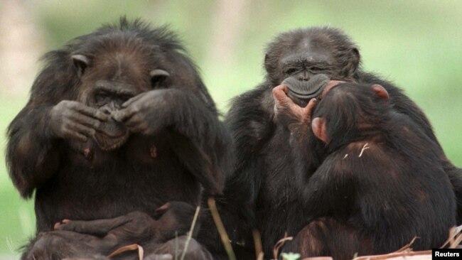 HIV diyakini berasal dari simpanse di Afrika Barat.