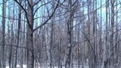 Centuries Old Trees Burn in Texas