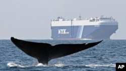 FILE - A blue whale is shown near a cargo ship in the Santa Barbara Channel off the California coast, Aug. 14, 2008. The oceans are turning into a Darwinian topsy-turvy place, where it's survival of the smallest and the bigger a species is, the more prone it is to die off.