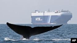 Los buques de carga han puesto en peligro de extinción a las ballenas azules por los últimos 10 años.