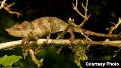 Une nouvelle espèce de caméléon decouverte en Tanzanie.