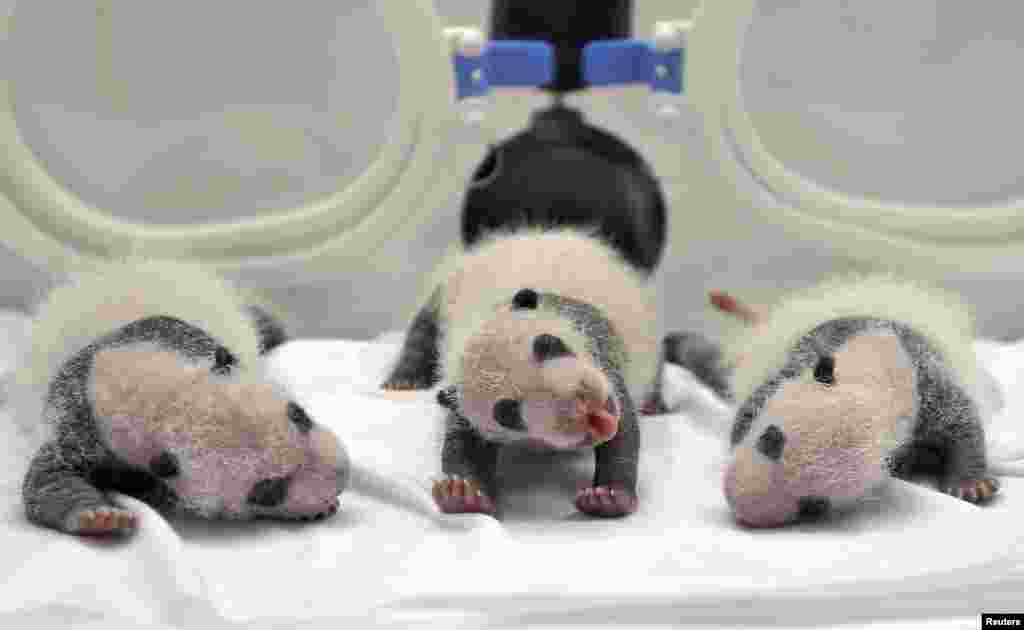 Ba con gấu trúc sinh ba mới chào đời được đưa vào trong lồng ấp tại Vườn thú Trường Long ở thành phố Quảng Châu, tỉnh Quảng Đông, Trung Quốc, ngày 17 tháng 8, 2014.
