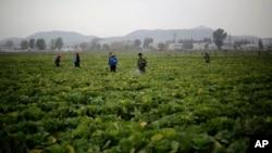 Para petani di lahan pertanian Chilgol, luar kota Pyongyang, Korea Utara, menyemprot tanaman sawi mereka dengan pembasmi hama (24/10).