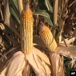Corn-based ethanol makes up 10 percent of most gasoline in the United States, which helps push up the cost of food.