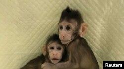 """在中国科学院上海神经科学研究所出生的体细胞克隆猴""""中中""""与""""华华""""(2018年1月10日)"""