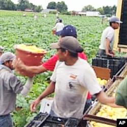 امریکی زراعت میں غیر قانونی تارکین وطن کے کردار پر بحث