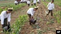 북한에서 극심한 가뭄이 발생한 지난 2012년 6월 북한 황주군 고현리에서 여군들이 옥수수 밭에 물을 대고 있다. (자료사진)