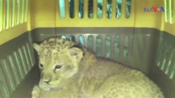 یوکرین میں گاڑی سے شیر برآمد