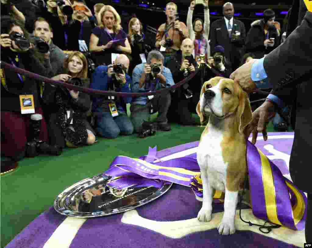 "Miss P, a 15-inch Beagle with handler William Alexander, looks on after winning the ""best in show"" of the 139th Annual Westminster Kennel Club Dog Show at Madison Square Garden in New York, Feb. 17, 2015."