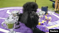 File - Siba the Standard Poodle, winner of Best in Show, poses with trophies and awards at the 2020 Westminster Kennel Club Dog Show at Madison Square Garden in New York, Feb. 11, 2020.