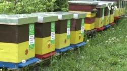 世界蜜蜂日 蜜蜂的生存引发关注