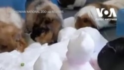 Морські свинки з зоопарку у Вашингтоні побавилися зі снігом. Відео