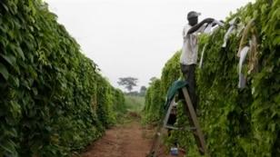 A man works on a cassava farm in Nigeria.
