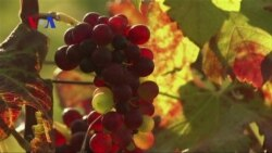 Growing Wine in Myanmar