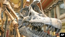The skull of a Brachiosaurus brancai stands in the center of an exhibition in the Museum fuer Naturkunde in Berlin (file)