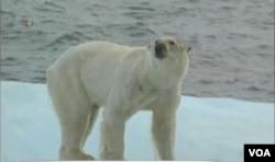 幾個世紀以來,北極熊獨自享受著北極水域