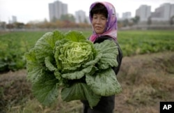 FILE - A farmer carries a fully grown cabbage after plucking it out from the main crop near Pyongyang, North Korea. Severe famines in the 1990s that killed more than three million North Koreans were made worse by the communist government's restrictive agricultural system.