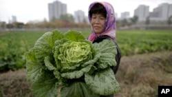 북한 평양 인근의 칠곡채소농장에서 한 농부가 배추를 수확하고 있다. (자료사진)