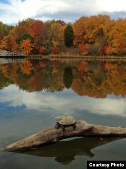 A turtle enjoys the sun on a chilly autumn day at a park in Virginia. (Diaa Bekheet/VOA)