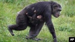 Este gorila es una de las tantas especies animales que habitan el zoológico de Detroit en el suburbio de Royal Oak, en Michigan.