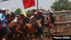 Karapan Sapi di Madura, akan diangkat ke layar lebar oleh sutradara Hollywood, Livi Zeng (Foto: VOA/Petrus)