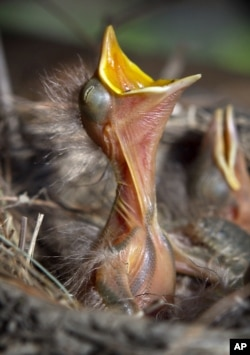A three-day-old American robin chick begs for food in a nest it shares with three other siblings, June 2012. (FILE PHOTO)
