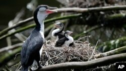 In this March 22, 2017 photo, two shag chicks sit on a nest with their mother at Zealandia in Wellington, New Zealand. (AP Photo/Mark Baker)
