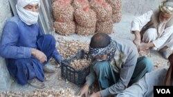 سال گذشته، ده هزار کیلوگرام زعفران خالص توسط دهقانان ولایت هرات برداشت شد و امسال پیشبینی میشود این مقدار به دوازده هزار کیلوگرام افزایش یابد.