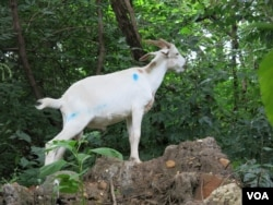 A goat eats vegetation tangled in the trees. (Rosanne Skirble/VOA)