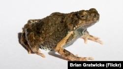 Túngara Frog Engystomops pustulosus