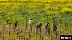 """Los trabajadores agrícolas que viven sin autorización en el país y que hayan laborado dos años en el sector, podrían acceder a una nueva visa denominada como """"tarjeta azul""""."""