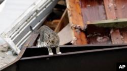 """Кіт лазить уламками після урагану """"Гарві"""", 28 серпня 2017 року, Рокпорт, штат Техас."""
