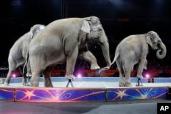 FILE - An Asian elephant performs during the national anthem for the final time in the Ringling Brothers and Barnum & Bailey Circus, May 1, 2016, in Providence, Rhode Island.