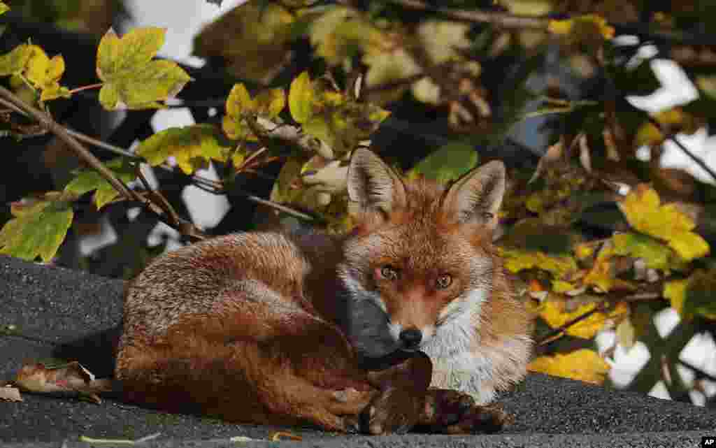 A fox sits in the sun on a shed roof in a garden in London.