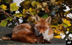 A fox sits in the sun on a shed roof in a garden in London, Wednesday, Nov. 6, 2019.