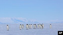 FILE - Emperor penguins walk across sea ice near Ross Island, Antarctica, Dec. 9, 2012.