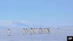 FILE - Emperor penguins walk across sea ice near Ross Island, Antarctica, Dec. 9, 2012.