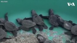 Rùa làm ổ và đẻ trứng ở bãi biển Mexico