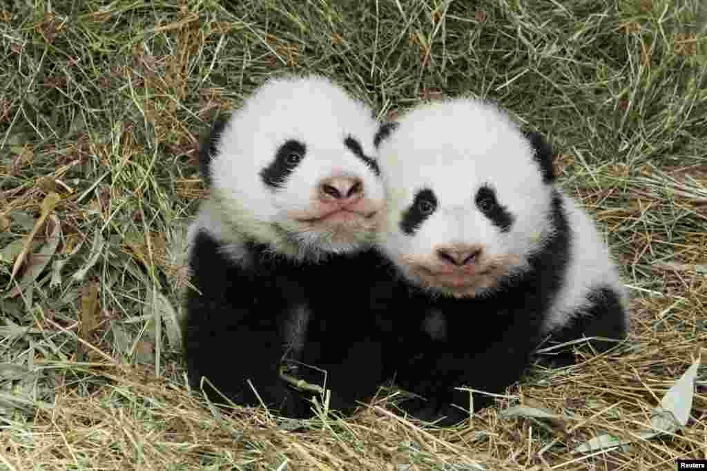 Dua bayi kembar panda, yang dilahirkan 7 Agustus lalu, terlihat di kebun binatang Schoenbrunn di Wina, Austria.