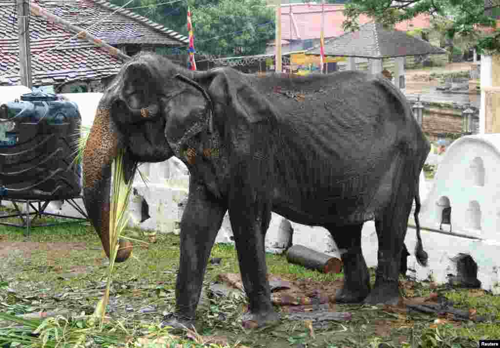 70-year-old emaciated elephant Tikiri eating at the Temple of the Tooth in the central city of Kandy, Sri Lanka. After a social media firestorm over using a feeble emaciated animal in the parade, the authorities withdrew her from the festival allowing her rest and medication.