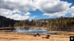 Bison di Taman Nasional Yellowstone (Foto: Carol M. Highsmith/Koleksi Library of Congress)