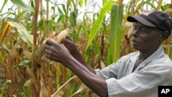 FILE - A farmer checks a maize crop in Catandica, Mozambique. (AP)