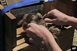 Raw wool, newly sheared off a sheep, is fed into a carding device which will brush the wool out before it is used to make felt.