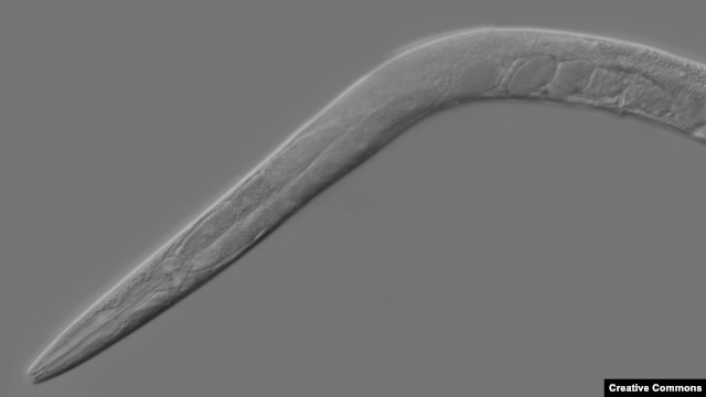 A mutant form of the Caenorhabditis elegans worm proved immune to the intoxicating effects of alcohol.