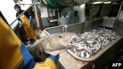 Рыбаки учатся разводить рыбу