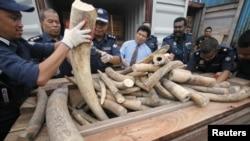 Pihgak berwenang Malaysia memperlihatkan gading gajah yang baru-baru ini ditemukan di Port Kelang, dekat Kuala Lumpur (11/12).