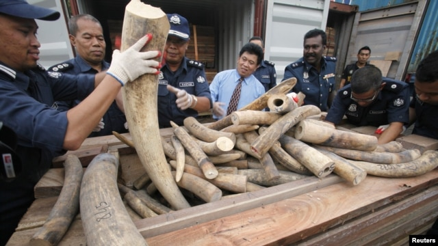 Malaysian customs officers show elephant tusks which were recently seized in Port Klang outside Kuala Lumpur December 11, 2012.